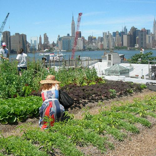 rooftop farm in Greenpoint, Brooklyn